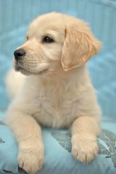 Golden Retriever Pup ~ Classic Look Cute Little Puppies, Cute Little Animals, Cute Dogs And Puppies, Baby Dogs, I Love Dogs, Pet Dogs, Dog Cat, Labrador Puppies, Corgi Puppies