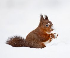 this red squirrel appears to be making a snowball.