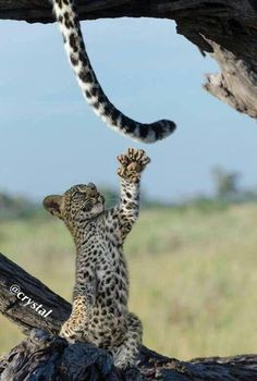 Leopard cub playing with mom's tail - By Lets Kamogelo Cute Baby Animals, Animals And Pets, Funny Animals, Wild Animals, Beautiful Cats, Animals Beautiful, Big Cats, Cats And Kittens, Gato Grande