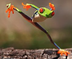 The red-eyed tree frog, native to the rainforests of Central America, mimics the martial art great Bruce Lee. With his left foot firmly planted on a sunkissed log, the frog lifted his right leg and wildly kicked out - just as amateur snapper Shikhei Goh began taking pictures. Goh said: 'He lifted his right leg up while shifting his weight to his left and kicked out. It was lightening quick and over in a second. But thankfully I managed to capture it on my camera.' via dailymail.co.uk