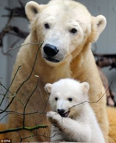 Meet the new Knut: Zoo crowds wowed by tragic polar bear¿s sister who (whisper it) could be even cuter | Mail Online