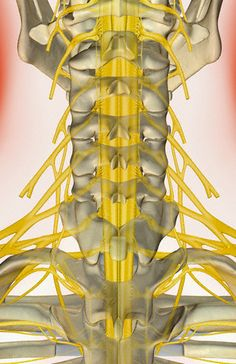 A posterior view of the nerve supply of the neck.