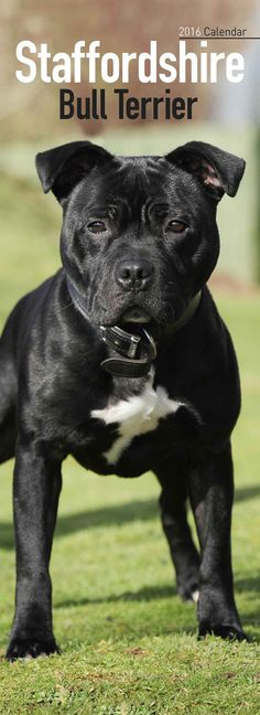Staffordshire Bull Terrier Slim Calendar 2016, beautiful, black, Staffy, puppy, dog, furry, fluffy,