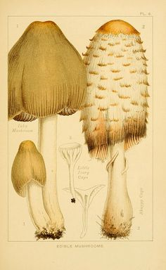 Edible Mushrooms: 1) Inky Mushroom, 2) Shaggy Caps, 3) Little Ivory Caps