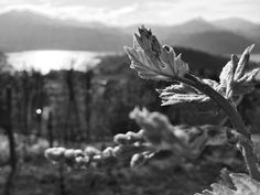 Nebbiolo#wine#Piemonte#Italia#Vigneto#La Darbia