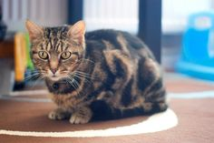 Missy - Tabby - Domestic Shorthair  8 yrs old  Missy is uncomplicated, she likes a fuss and affectionate, enjoys tuna for a treat and a soft place to lie. Had kittens all her life until she came into rescue and was spayed and much happier for it.