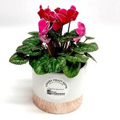 Plant Gift - Cyclamen - Gifts for plant lovers, living flower gifts. Flower plants