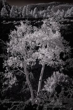 Two Aspens in Lava, Sunset Crater
