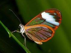 Clearwing butterfly, via Flickr.
