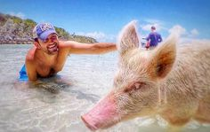 Stamp #482 - Bahamas: Pigs on the Beach  You must go to Staniel Cay (pronounced Key) and see the pigs on pig island. They will get a little aggressive so don't hold the food in your hand for too long or they will take it right out of it! Afterwards have lunch at the Staniel Cay Yacht Club- amazing fish sandwich! Thanks @traveloons for leaving your #stamp!  For more awesome travel tips and adventures download the Stamp Travel App Today. The link is in our bio!