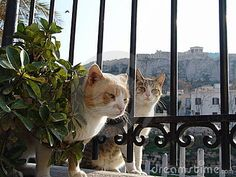 Greek cats by Sergio Bertino, via Dreamstime