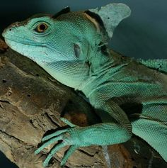 """Basilisks are great runners. When in danger, these lizards start running upright on their back legs. They can even run fast enough to walk, or run really, on water. This has caused them to be referred to as the """"Jesus Christ Lizard"""". Tortoise Care, Tortoise Turtle, Unique Animals, Animals And Pets, Cute Animals, Lizard Types, Crocodiles, Alligators, Lovely Creatures"""