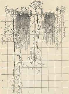 wallacegardens: Prairie Studies, John Earnest Weaver, University of Nebraska 1932-52.