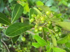 Lithraea brasiliensis - Aroeira-brava, Bugreiro, Pau-de-Bugre. Fruto tipo drupa. Flora Digital do Rio Grande do Sul e de Santa Catarina: Lithraea brasiliensis