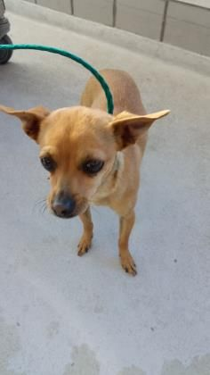 ●TO BE DESTROYED 2•24•17●ID 34540909 Breed Chihuahua, Short Coat Mix Gender Female Age: Young Adult Size Small rnColortBrown rnSitetCity of El Paso Animal Services rnLocationtKennel B rnIntake Datet1/30/2017 rn