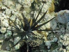 Black #lionfish at Tala Bay, #Jordan.