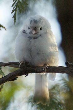 albino finch