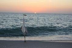 Great blue heron on the beach @ sunset @ the Mucky Duck, Sanibel & Captiva Fishing Charters.