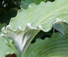 Hosta 'Valley's Curly Wurly' - http://www.hostavalley.eu