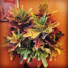 my croton plant