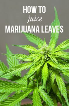 How to juice marijuana leaves | massroots.com