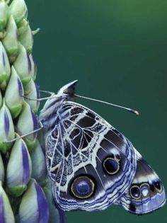 Pained Lady Butterfly on Lupine by Darrell Gulin~~