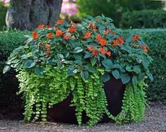 Creeping jenny, Hostas, Impatiens