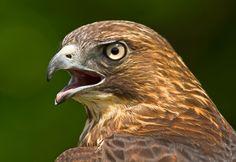 Broad-winged Hawk by Lorraine Hudgins, via 500px