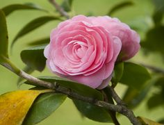 Spring blooming camellia have lustrous green foliage and masses of fragrant spring blooming flowers which appear in April.