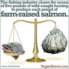 The fishing industry clears the ocean of five pounds of wild-caught herring to produce each pound of farm-raised salmon