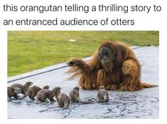 These otters have made the perilous journey through the wastelands to listen to the ancient wise one. for likes pictures Otters And Orangutan - In Otter News Funny Animal Jokes, Funny Animal Videos, Cute Funny Animals, Cute Baby Animals, Funny Cute, Funny Dogs, Animals And Pets, Funny Animal Humor, Otters Funny