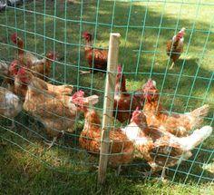 Portable Chicken Fencing