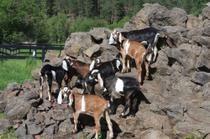 #goatvet likes these kids on a US goat cheese farm
