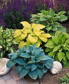 Hostas Mixed - Salvia in the background