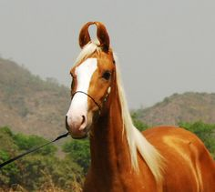 Palomino Marwari horse, a rare breed of horse from the Marwar (or Jodhpur) region of India. Known for its inward-turning ear tips.