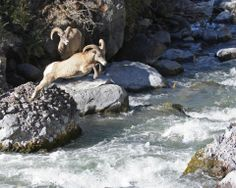 Do you #GoWild for wildlife & wild places? Have you ever seen the bighorn sheep at Yellowstone National Park? #NationalParkService #NationalParkWeek