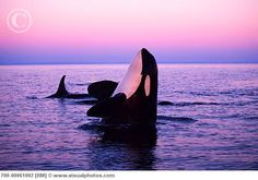 killer whales  This is how life should be for all Orca.