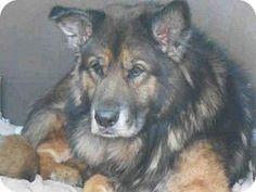 Orange, CA - German Shepherd Dog. Meet BREN, a dog for adoption. www.adoptapet.com...