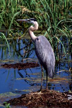 BLUE HERON, SAVANNAH WILDLIFE REFUGE © JOHN G. ANDERSON