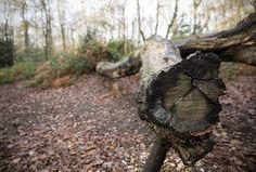 Fallen Tree - Mousehold Norwich