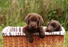I just want a chocolate lab puppy. My landlord forbids. I should get one anyway :)