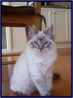 This photo is of a Seal Lynx Point Ragdoll kitten. The color on the face and ears will darken as the kitten matures. To top it all off, are the beautiful blue eyes. And, if I may say so, she must take after her mum, because it's obvious that she gets her blue eyes from me. Meow!   =^••^=