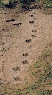 dinosaur tracks in oklahoma Dinosaur Tracks, Dinosaur Dinosaur, Dinosaur Fossils, Archaeological Discoveries, Extinct Animals, Historical Artifacts, Prehistoric Creatures, Science And Nature, Archaeology