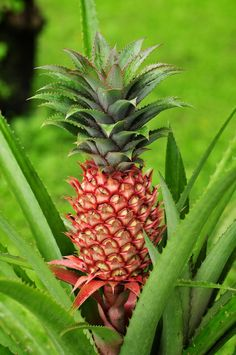 ananas, jardin de balata Martinique