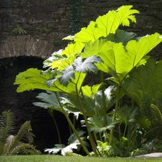 When people complain that their garden is like a bog they are overlooking the large-leaved rhubarb family, which generously gives a bog a good name. The giant gunnera, growing slowly and luxuriously over a long season, dies down in winter and in many northern areas needs winter protection (economically done by covering the crowns with piles of gunnera leaves and staking them down). Adding manure in spring will help to produce the largest leaves, which are larger in Ireland than, say, England…