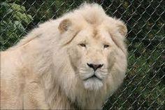 белый лев - Поиск в Google