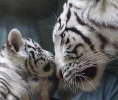 A rare white Indian tiger cub plays with its mother Surya Bara at a zoo in the city of Liberec, Czech Republic, Monday, Sept. 3, 2012. (AP Photo/Petr David Josek)