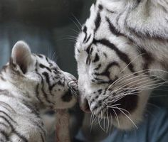 A rare white Indian tiger cub plays with its mother Surya Bara at a zoo in the city of Liberec, Czech Republic, Monday, Sept. 3, 2012.
