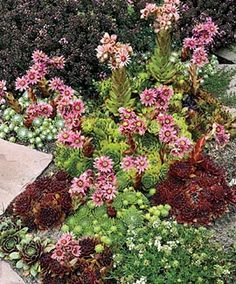 Hens and Chicks Mixture