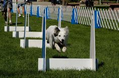 All about Flyball - Drag Racing for Dogs   Australian Dog Lover